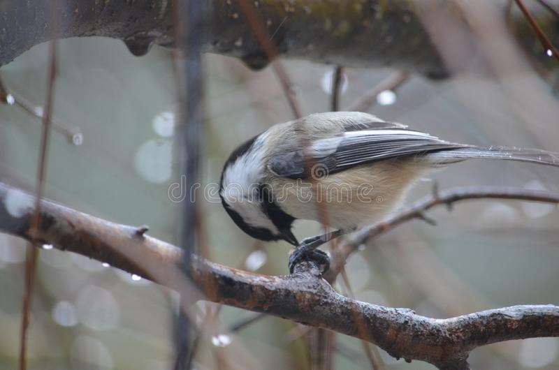 Little bird bowing head. Tree, nature, finch royalty free stock photography