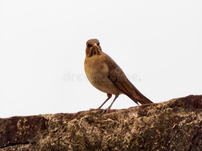 Bird brown royalty free stock photos