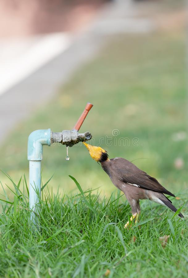 Little bird eating drops of water from the faucet stock photos