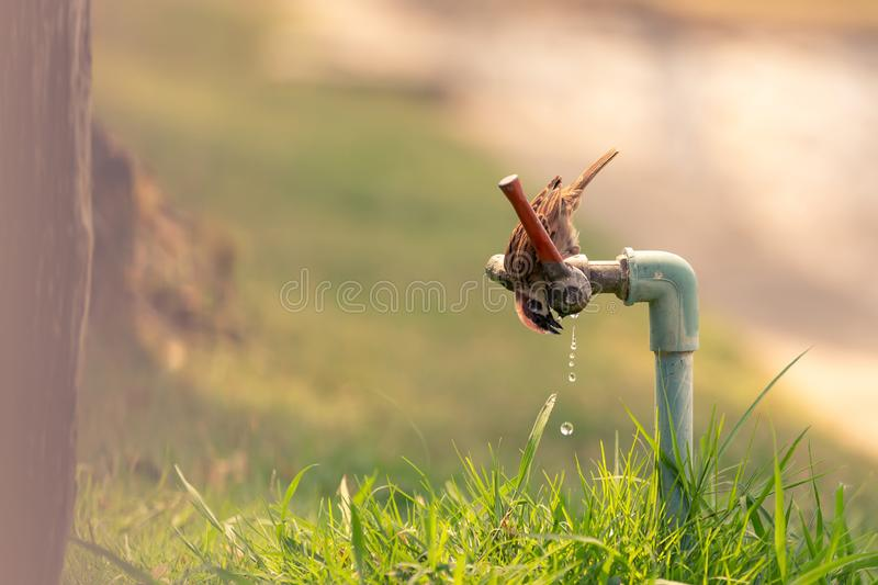 Little bird eating drops of water from the faucet royalty free stock photos