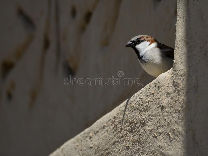Little bird looking out from a wall stock image