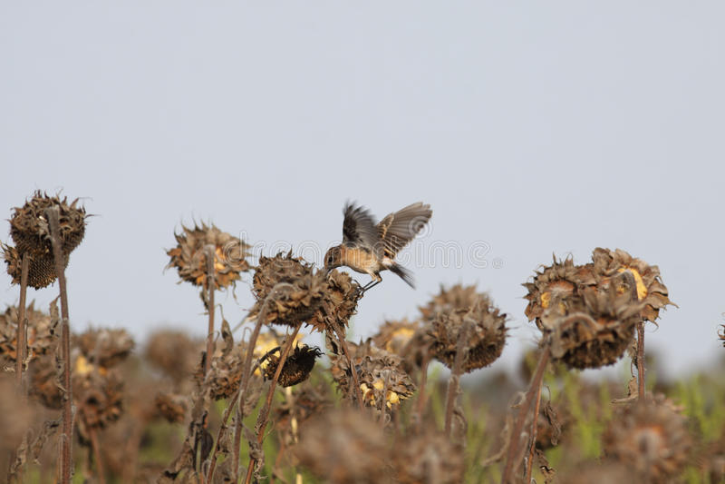 Little bird pecks seeds stock photo