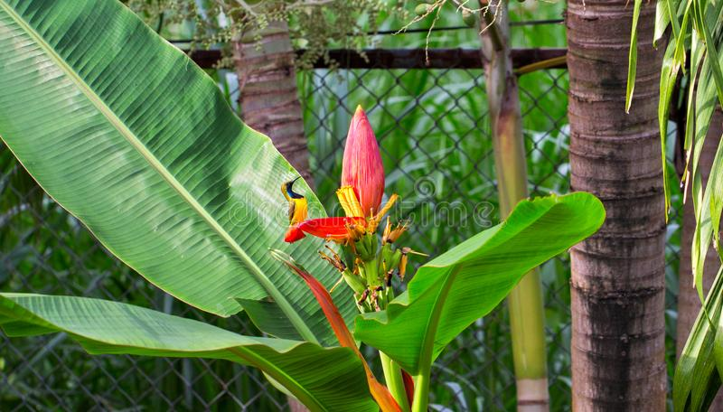 Little bird sings on banana flower. Olive-back sunbird male on exotic plant. Small yellow bird with blue chest. royalty free stock photo