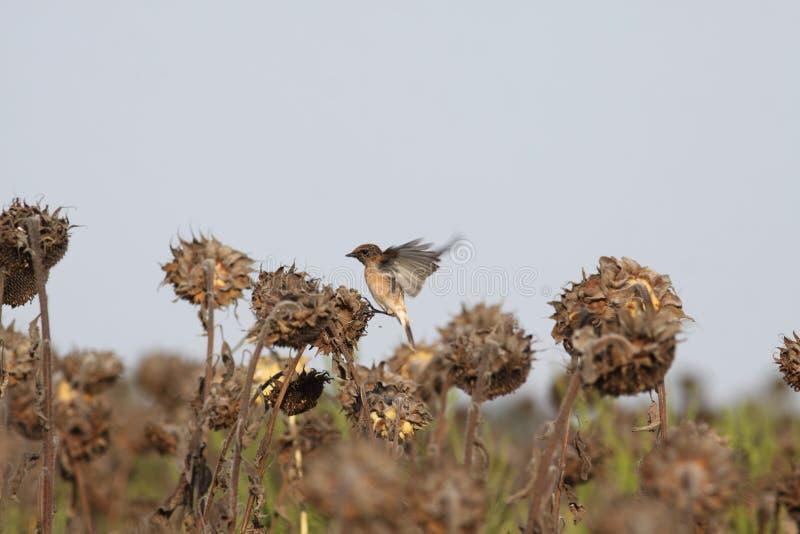 Little bird sits on a sunflower stock image