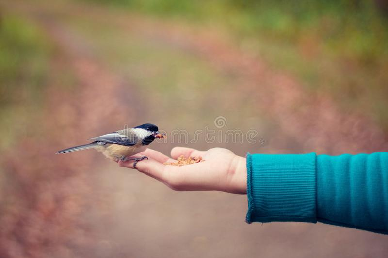 Little bird sitting on a hand of a human and eating seeds royalty free stock image