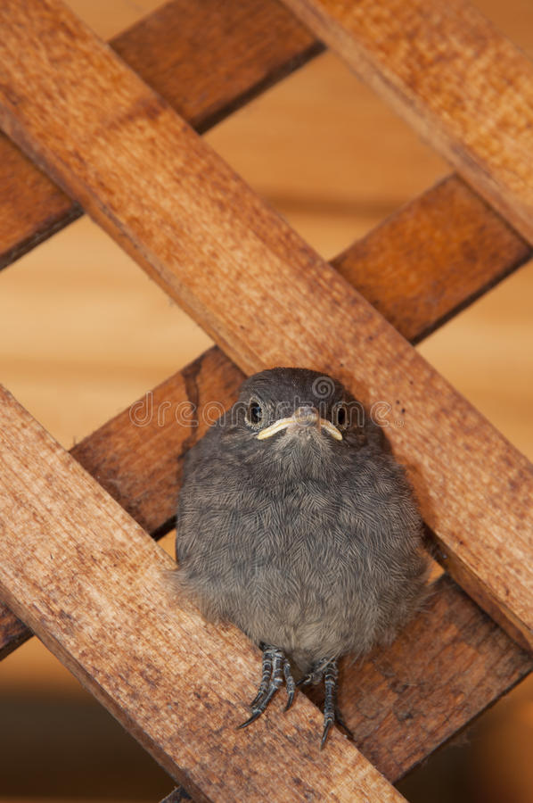 Little bird. Sitting on wooden lattice. Phoenicurus ochruros from Muscicapidae family royalty free stock photos