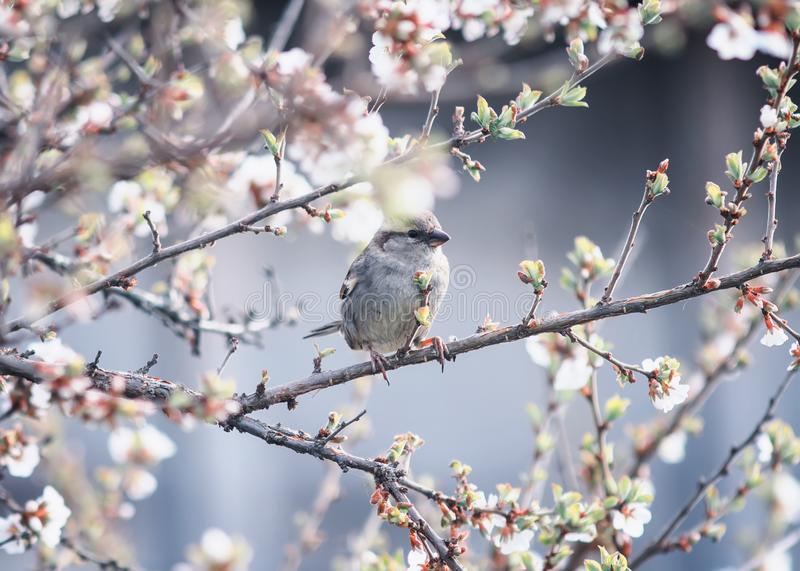 Little bird Sparrow sits in the spring garden on a branch of cherry blossoms Sunny warm may morning stock photos