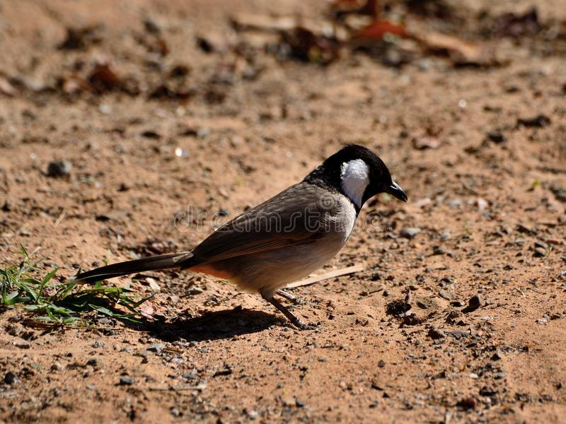 Little bird standing on the sand. In the desert royalty free stock photo