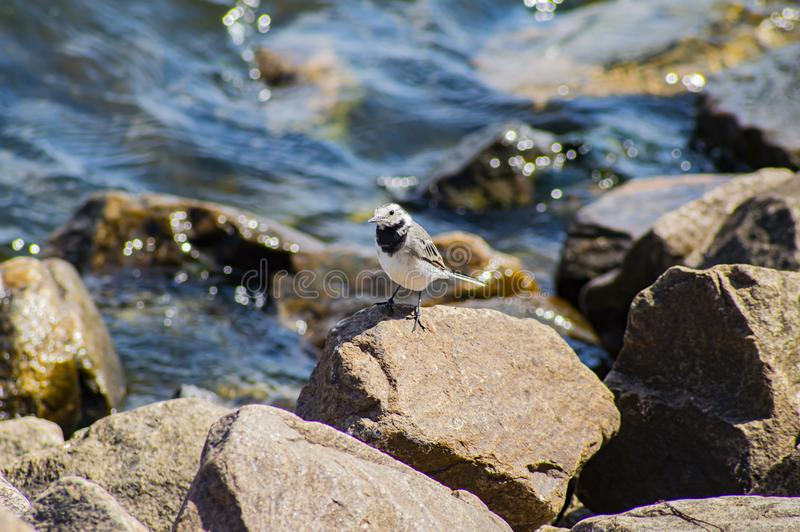 Little bird on the stones near the water. Natural background royalty free stock image