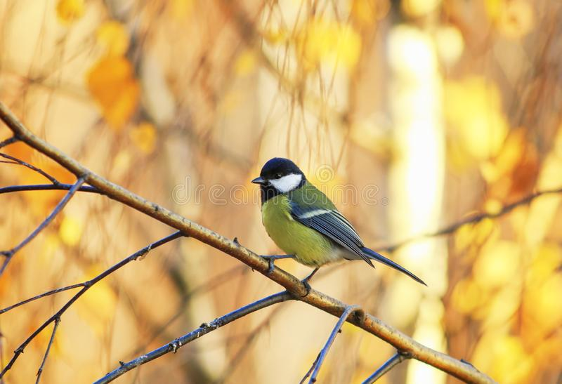 little bird tit sitting in a Sunny Park on a birch tree with yellow bright autumn leaves stock photography
