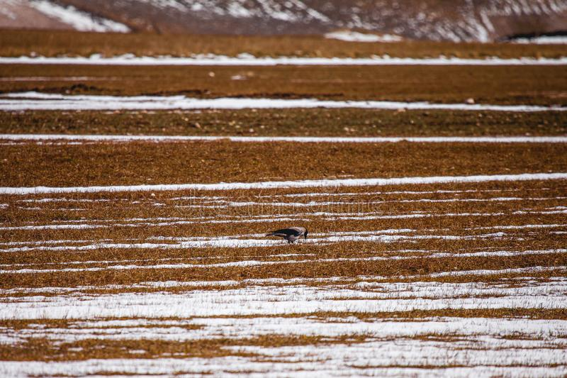 Little bird under the mountain is searching food and ready to take flying, Castelluccio di Norcia, Norcia, Umbria, Italy.  royalty free stock photography