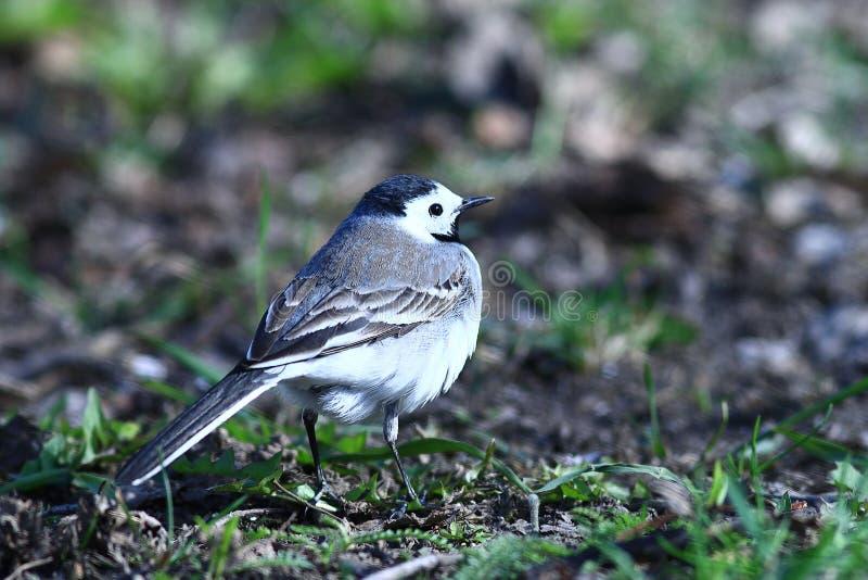 Little bird Wagtail royalty free stock photos