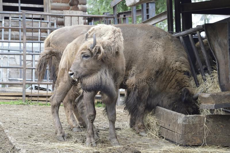 Little bison with parents. zoo. Russia. Krasnoyarsk. Beautiful big animals. live in a family. little bison with parents. zoo. Russia. Krasnoyarsk stock photos