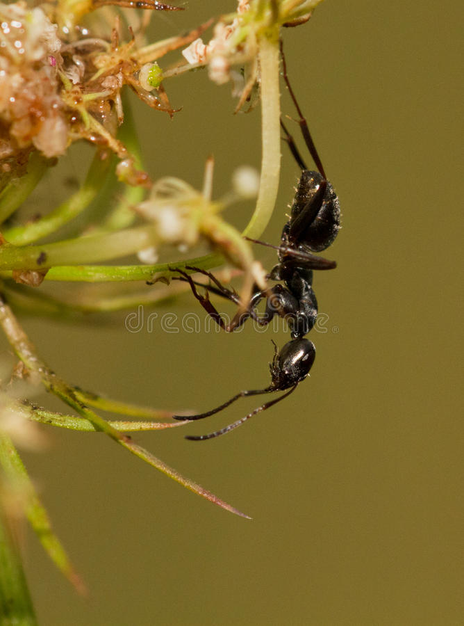 Download Little Black Ant Royalty Free Stock Images - Image: 26094219