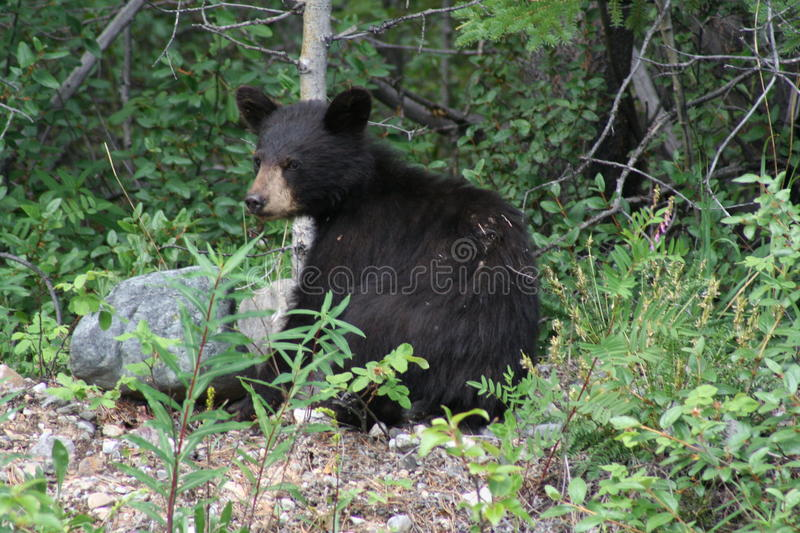 Little black bear cub. Along the side of a dirt road near Dease Lake, BC, this little one was waiting for his mother to come back and she did royalty free stock photo