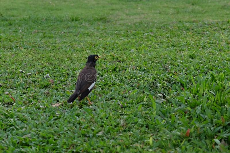 Little black bird on a green lawn.  stock images
