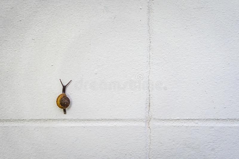 Little black and brown snail is climbing on a white wall stock photography