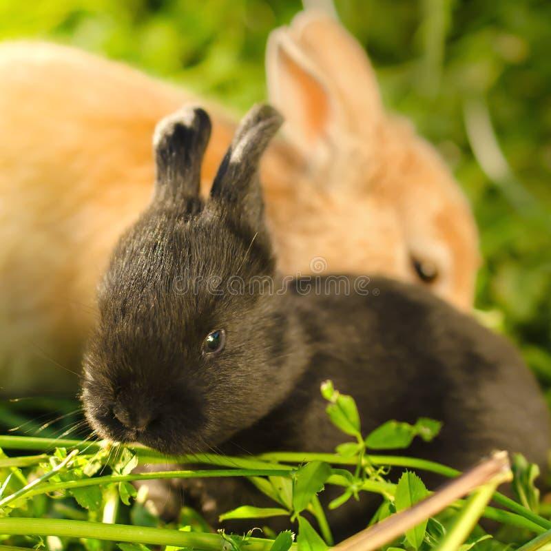 Little black bunnie and big orange rabbit resting on the grass. A shot of little black bunnie and big orange rabbit resting on the grass with selective focus on royalty free stock photo