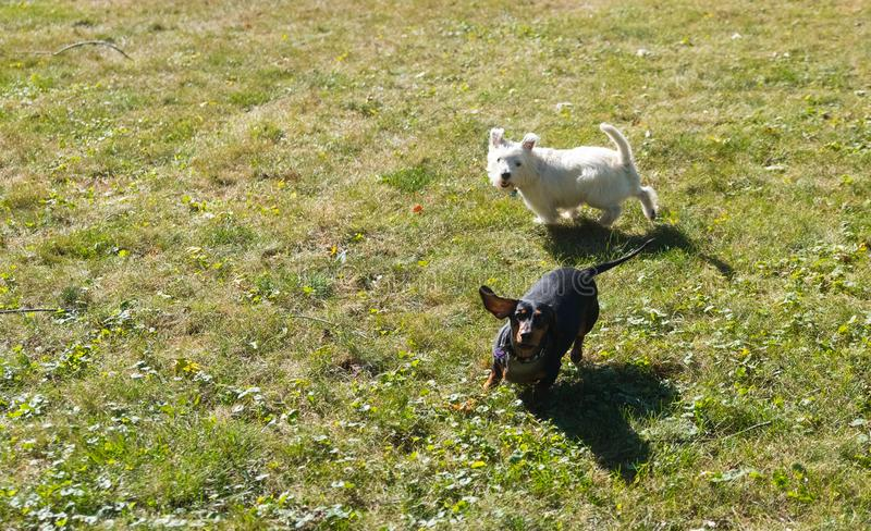 Little black dachshund and west highland white terrier playing o royalty free stock image