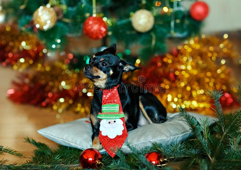 Little black dog with a red bow on the background of the Christmas tree at home. stock image