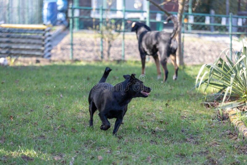A little black dog run outdoors in green grass. The dog is a mixed of a Labrador retriever stock photos