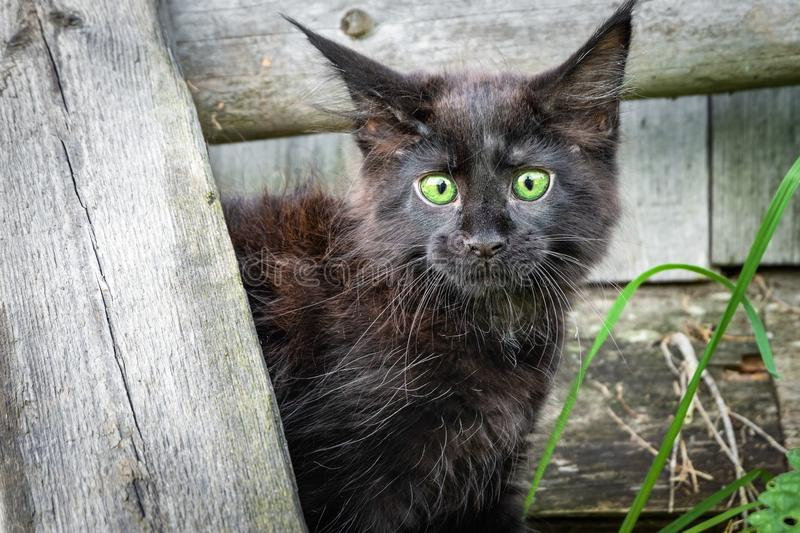 Little black kitten Maine Coon in the yard. Frightened little cat bulged his eyes and pricked up his ears royalty free stock photo