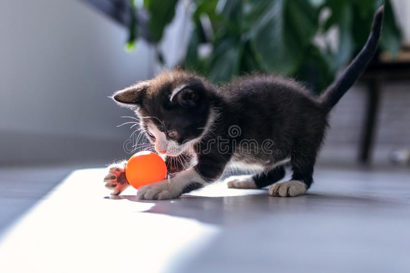Little black kitten playing and enjoys with orange ball at living room of house royalty free stock images