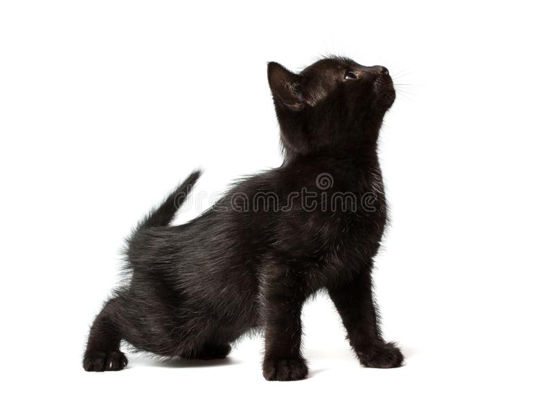 A little black kitten sitting on its hind legs. royalty free stock images