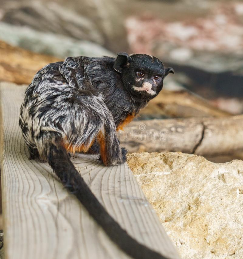 A little black monkey with a long tail in zoo. A little black monkey with a long tail in zoo stock photo