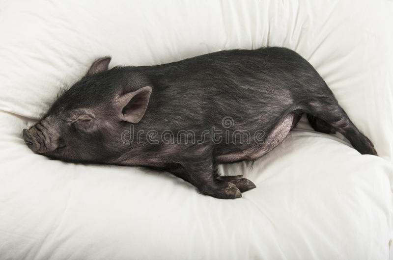 A Little Black Pig Sleeping Royalty Free Stock Images