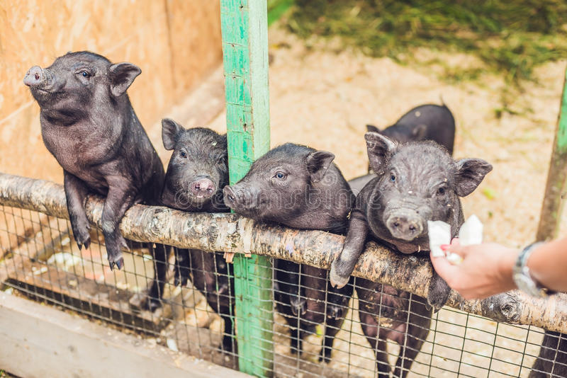 Little black pigs stand on a wooden fence on a farm stock photo