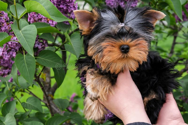 Little black puppy in female hands. Funny puppy yorkshire terrier royalty free stock photos