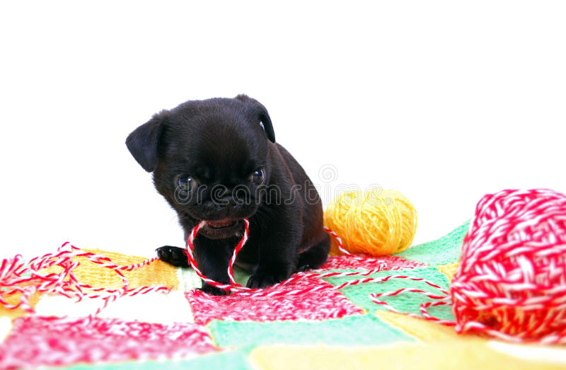 The little black puppy Mopsa plays royalty free stock photos