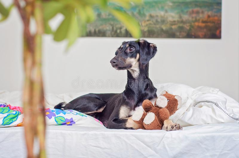 A little black saluki puppy is playing with teddy bear in bed, in Finland royalty free stock images