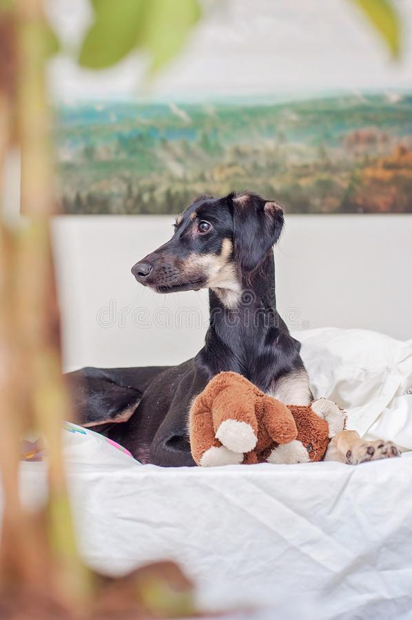 A little black saluki puppy is playing with teddy bear in bed, in Finland royalty free stock photo
