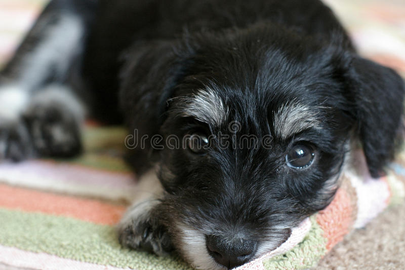Little black schnauzer stock image