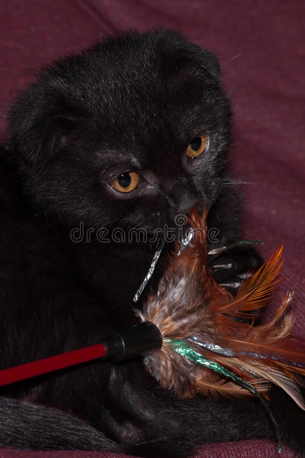 Little black scottish fold cat with feather toy. It`s important to play with cats. black scottish fold kitten caught toy prey on hunting indoors stock photos