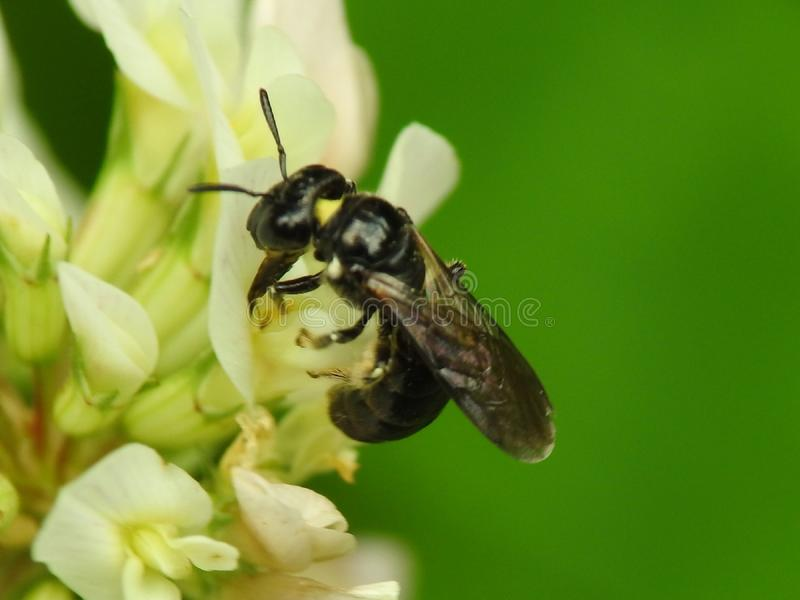 Pollinator. Little black wasp royalty free stock image