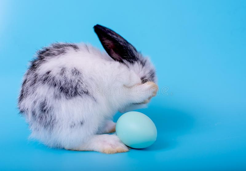Little black and white bunny rabbit with blue easter egg and action by clean head on blue background.  stock photos