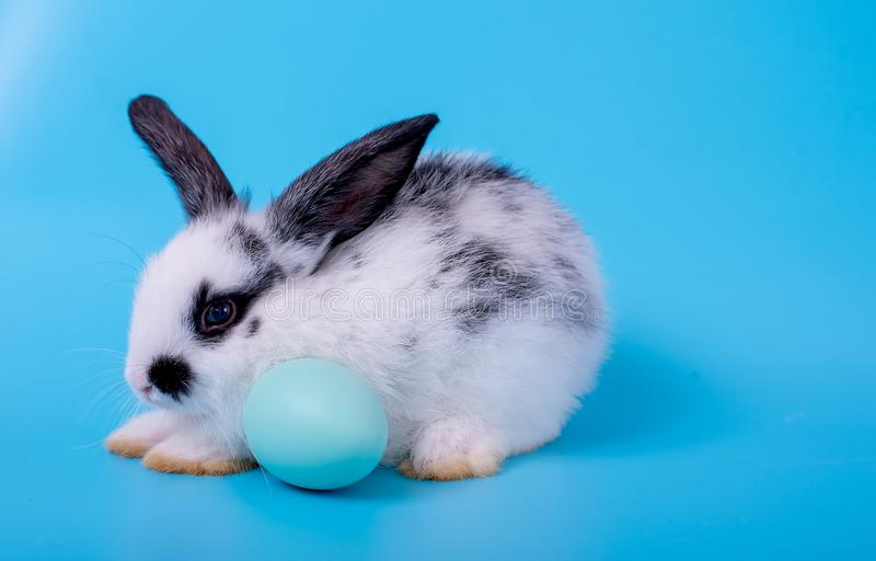 Little black and white bunny rabbit with blue easter egg on blue background.  stock photography