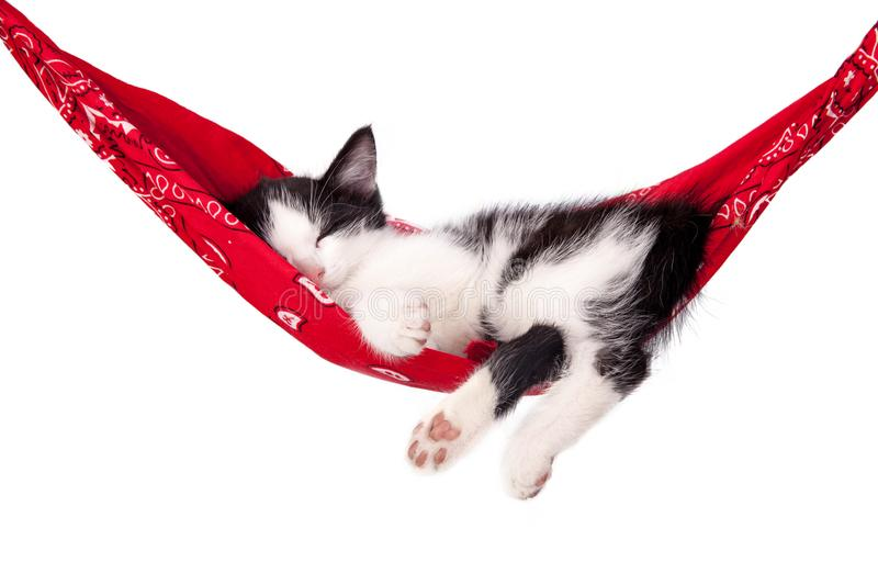 Little black and white kitten sleeps on a red hammock. Small cat royalty free stock images