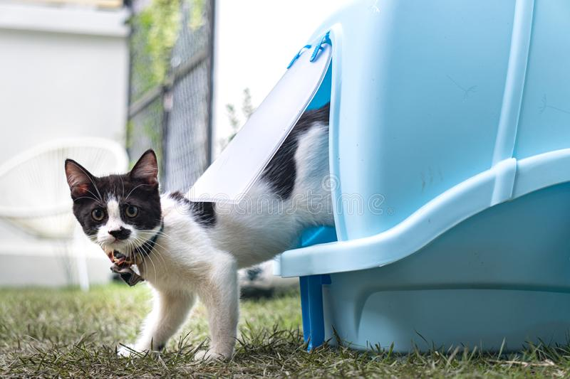 Little black and white long-legged munchin kitten walk out of the blue cat`s toilet in the garden. His face looked like man with mustache stock photos