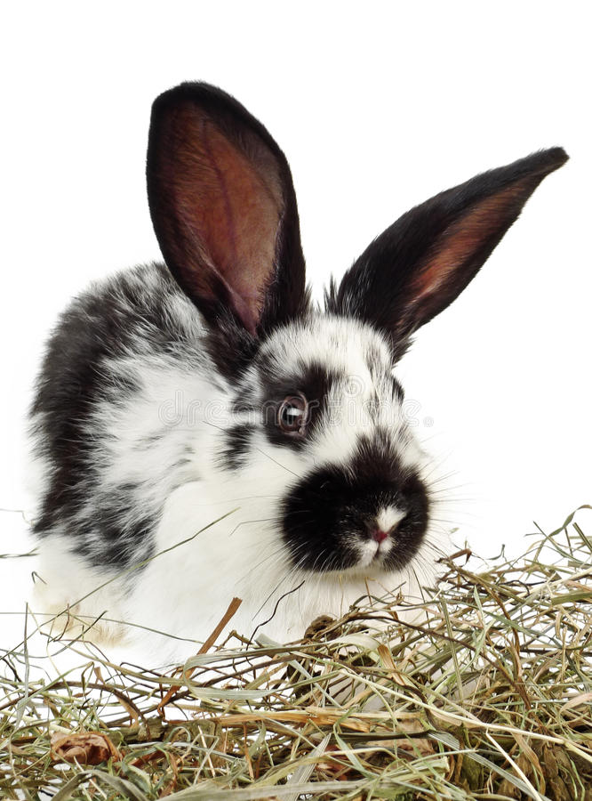 Little black and white rabbit. And white background royalty free stock photos