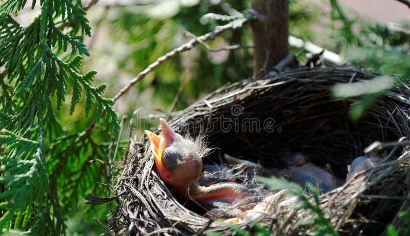Little blackbird stock images