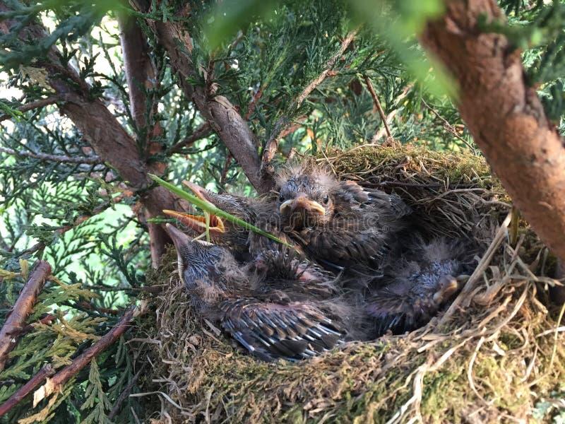 Little Blackbird!!! royalty free stock photos