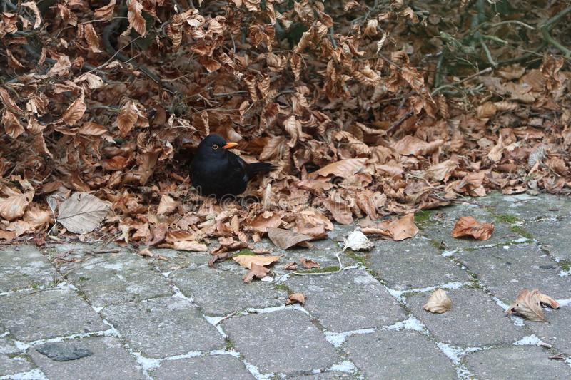 Little blackbird standing on leafs royalty free stock photos