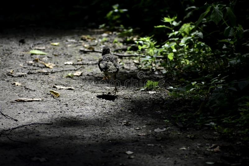 The little blackbird without tail jumps away royalty free stock photos