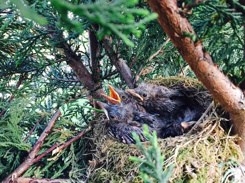 Nest of Blackbirds!! royalty free stock images