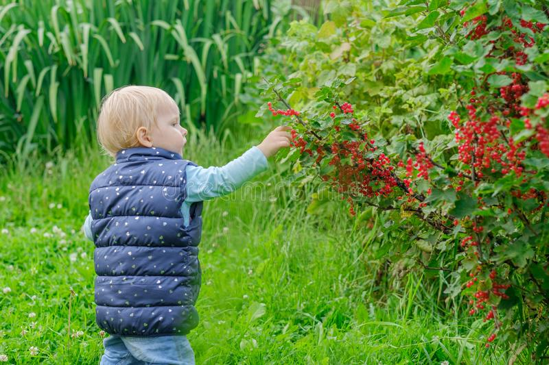 A Little Blonde Girl In The Garden Is Enjoying Red Currant ...