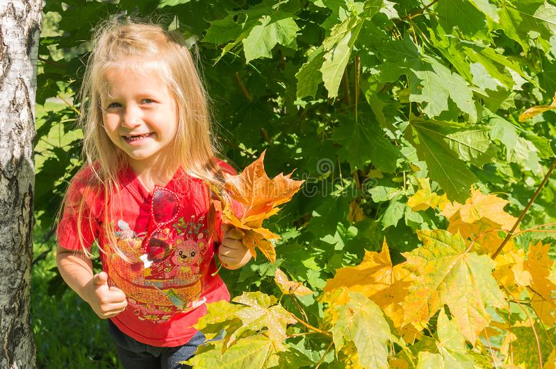 Smilling little girl walks in the park and collects maple leaves. Little blonde girl in a joyful mood collects yellow maple leaves in the park stock photos